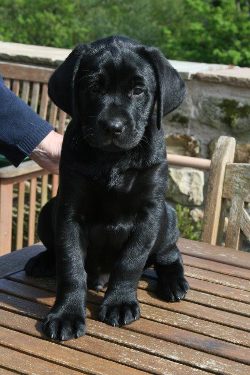 Working Labrador Puppies by Fenway Labradors - Labrador breeders based in Lancashire, UK.