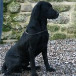 Fenway Goodwill - Working Labradors Gundog - Fenway Labrador Breeders and Trainers UK.