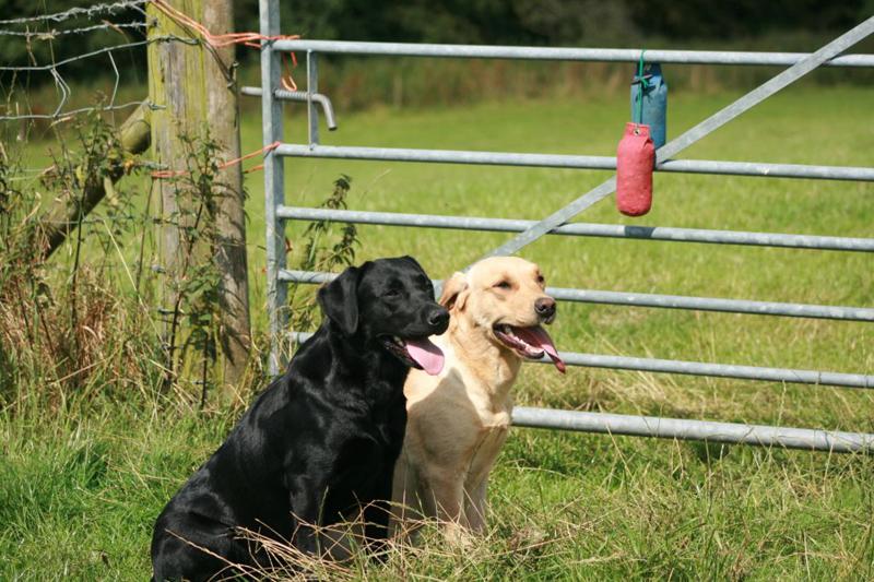 Fenway gundog training - Working Labradors and Gundog Training - Fenway Labrador Breeders and Gundog Trainers UK.