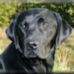 Fenway Jack Snipe - Working Labradors Gundog - Fenway Labrador Breeders and Trainers UK.