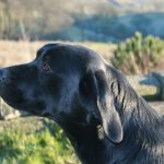 Fenway Linnet - Working Labradors Gundog - Fenway Labrador Breeders and Trainers UK.