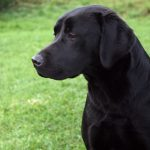 Fenway Woodlark - Working Labradors Gundog - Fenway Labrador Breeders and Trainers UK.