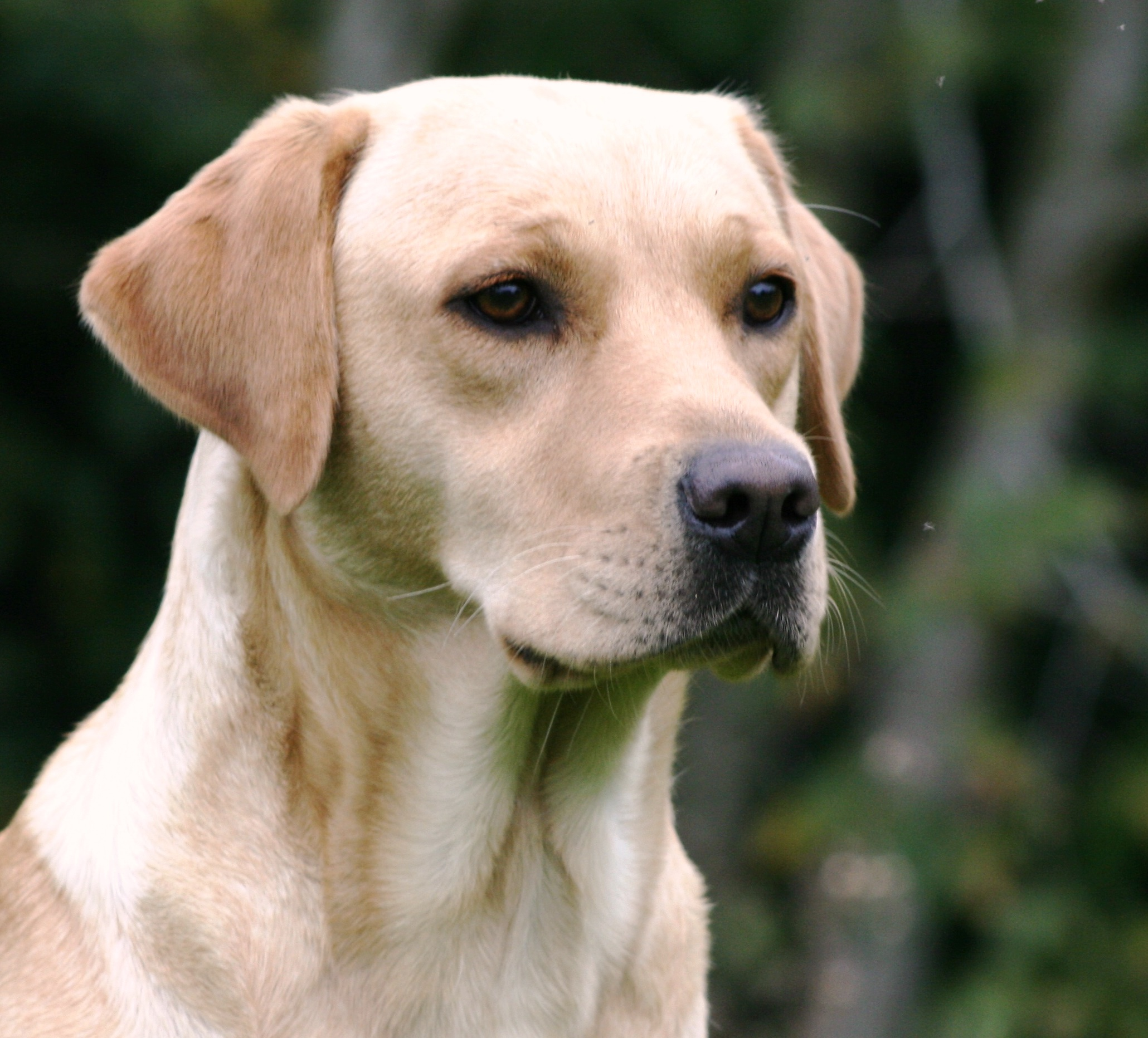 Fenway Working Labradors - Breed and Trained UK Labradors