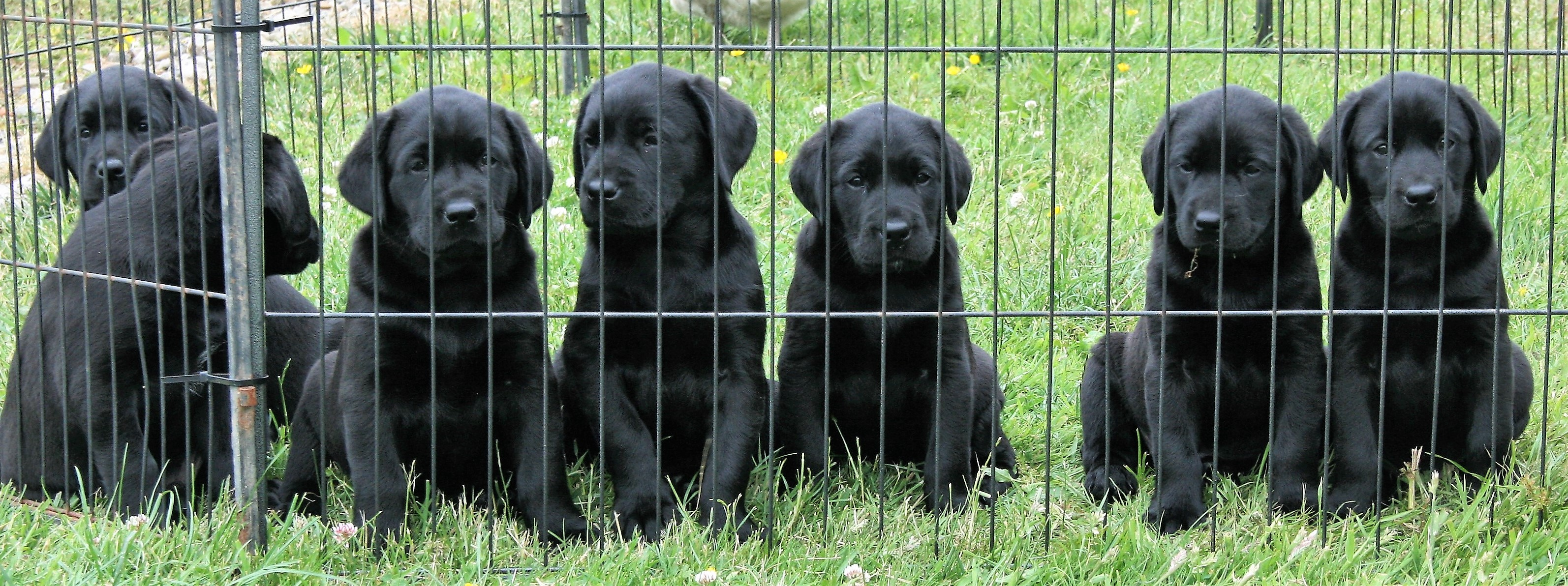 Home - Welcome to Fenway Labradors Gundog Breeders & Trainers UK